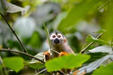 Cute and curious squirrel monkey in Costa Rica