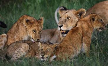 Kenya's famous lions